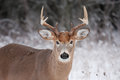White-tailed deer buck in autumn rut Royalty Free Stock Photo