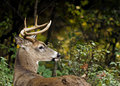 White tailed deer buck a in the autumn woods Royalty Free Stock Photo