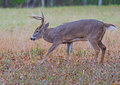 White-tailed Deer buck in Cades Cove. Royalty Free Stock Photo