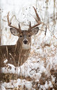 White tailed deer buck photo of a beautiful in a snowy winter scene Stock Photo