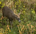 White tailed deer buck a searching for food Stock Images