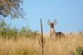 White-tailed Deer Buck, Texas Hill Country Royalty Free Stock Photo