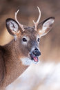 White-tailed deer buck Royalty Free Stock Photo