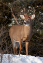 White-tailed deer buck in the snow Royalty Free Stock Photo