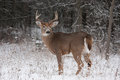 White-tailed deer buck in the winter snow Royalty Free Stock Photo