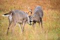 White tailed deer bucks sparring two in a frost covered open meadow Stock Image