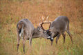 White tailed deer bucks sparring two in a frost covered open meadow Royalty Free Stock Photo