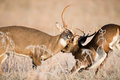 White tailed deer bucks sparring two in a frost covered open meadow Royalty Free Stock Photography