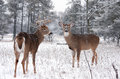 White-tailed deer bucks in winter Royalty Free Stock Photo