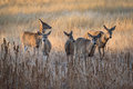 White-tailed Deer Does Moving ...