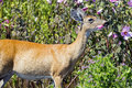 White-tailed Deer Eating Flowers