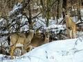 Bílý jelen rodina společně v sníh