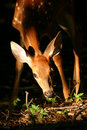 White tailed deer fawn Stock Photo