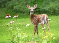 White Tailed Deer Fawn Royalty Free Stock Photo
