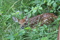 White-tailed Deer Fawn in Brush Royalty Free Stock Photo