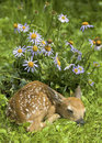White Tailed Deer Fawn and Flowers Royalty Free Stock Photos