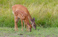 White-tailed deer and fawn grazing in spring Royalty Free Stock Photo