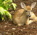 White tailed deer fawn lying down looking straight Royalty Free Stock Image