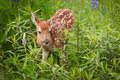 White-Tailed Deer Fawn Odocoileus virginianus Ear Back