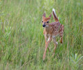 White tailed deer fawn running Royalty Free Stock Photo