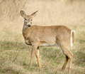 White tailed deer at five rivers environmental education center Stock Photo