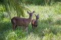 White-tailed Deer - Odocoileus...