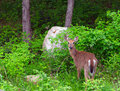 White tailed deer odocoileus virginianus eating a dandelion Stock Photo
