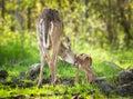 White tailed deer odocoileus virginianus fawn bathtime captive animals Royalty Free Stock Photo
