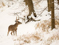 White tailed deer photo of a beautiful buck in a snowy winter scene Stock Photography