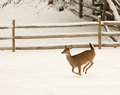 White tailed deer photo of a beautiful runny through a field of snow Royalty Free Stock Photography