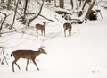 White tailed deer photo of beautiful in a snowy winter scene Stock Photos