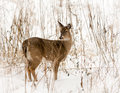 White tailed deer photo of a beautiful in a snowy winter scene Royalty Free Stock Photos