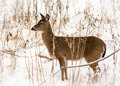 White tailed deer photo of a beautiful in a snowy winter scene Royalty Free Stock Images