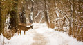 White tailed deer photo of a beautiful on a snowy winter trail in a wooded park Stock Images