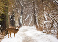 White tailed deer photo of a on a snowy path makes for a beautiful winter scene Royalty Free Stock Photography
