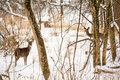 White tailed deer photo of two beautiful doe in a snowy winter scene Royalty Free Stock Image