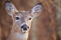 White Tailed Deer Portrait Royalty Free Stock Photo