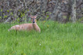 White Tailed Deer Resting in Tall Green Grass Royalty Free Stock Photo