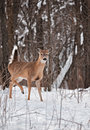White-Tailed Deer in Snowy Woods - Tail Up Stock Photos