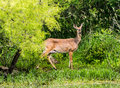 White tailed deer a standing alert in the woods Royalty Free Stock Photo