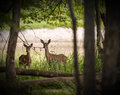 White tailed deer two standing alert in the woods Royalty Free Stock Image
