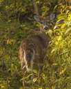 White tailed deer a young buck standing alert in the woods Royalty Free Stock Photography