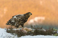White tailed eagle Stock Photos