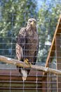 White tailed eagle aka haliaeetus albicilla in zoo Royalty Free Stock Photography