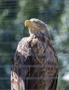 White tailed eagle aka haliaeetus albicilla in zoo Stock Photography