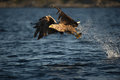 White-tailed Eagle in flight Stock Photography
