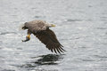 White tailed eagle flying back to nest food his young brood chicks Royalty Free Stock Image