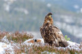 White tailed eagle guarding dead deer before eating Stock Photos
