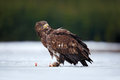 White-tailed Eagle, Haliaeetus albicilla, bird of prey with catch fish in snowy winter scene, animal in snow with ice, forest natu Royalty Free Stock Photo