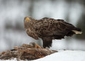 White tailed eagle haliaeetus albicilla feeding adult on a red fox high in the mountains in norway Stock Images
